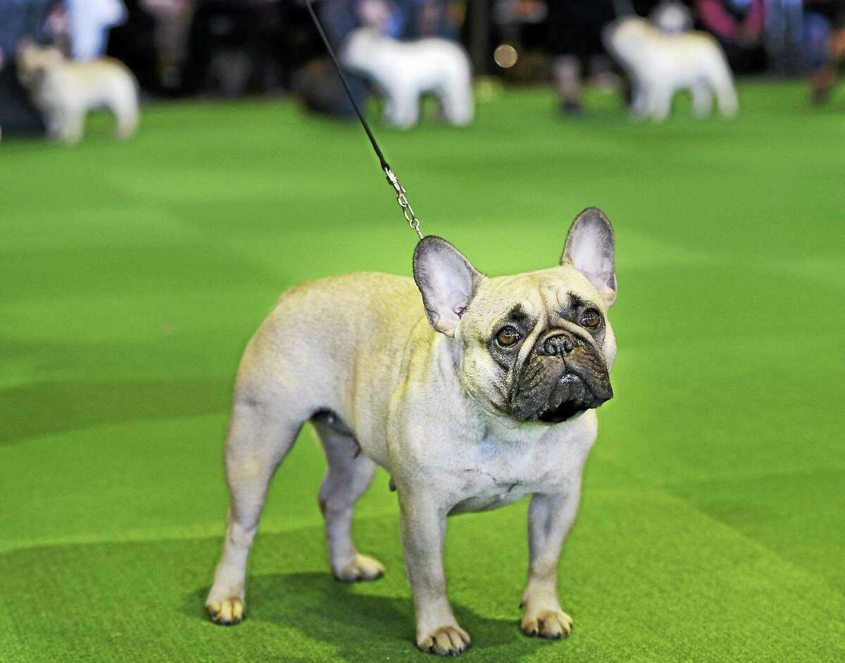 In this Feb. 16, 2015 photo, a French bulldog competes at the Westminster Kennel Club show in New York. The American Kennel Club is releasing its 2014 breed popularity rankings.