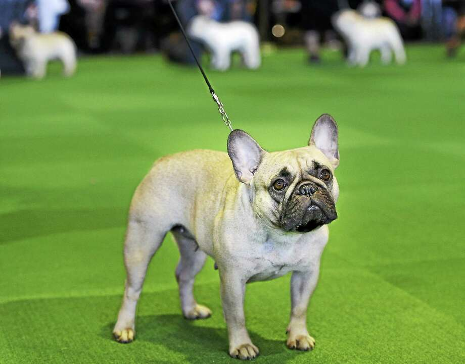 In this Feb. 16, 2015 photo, a French bulldog competes at the Westminster Kennel Club show in New York. The American Kennel Club is releasing its 2014 breed popularity rankings. Photo: AP Photo/Seth Wenig, File  / AP
