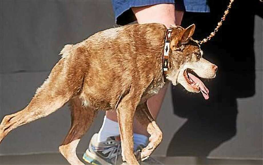 Quasi Modo wins top honors in the World's Ugliest Dog Contest at the Sonoma-Marin Fair on Friday in Petaluma, Calif. Quasi Modo's owners, who traveled from Florida to compete, will receive $1500. Photo: (AP Photo/Noah Berger) / FR34727 AP