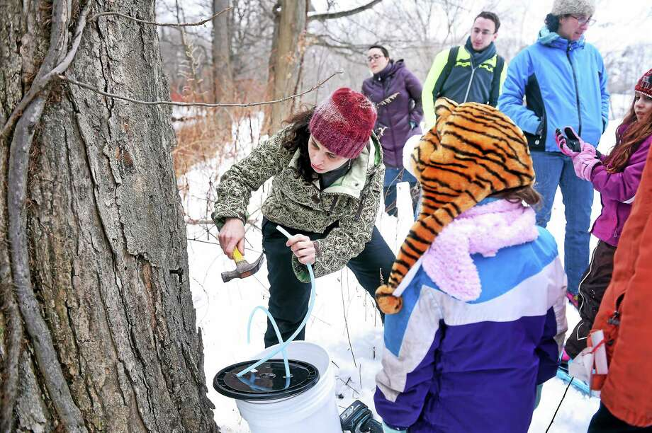 Naomi Senzer, left, of the Friends of Edgewood Park, hammers a tap into a sugar maple at Edgewood Park in New Haven in this file photo. Photo: Arnold Gold — New Haven Register