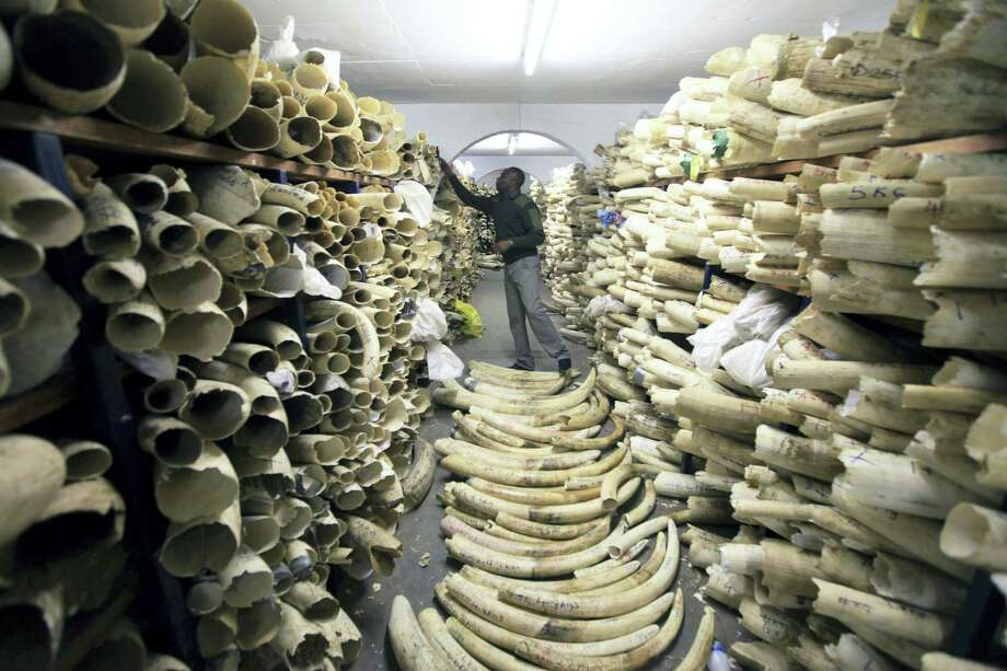 In this June 2 file photo, a Zimbabwe National Parks official inspects the stock during a tour of the country's ivory stockpile at the Zimbabwe National Parks Headquarters in Harare. Photo: Associated Press File Photo  / Copyright 2016 The Associated Press. All rights reserved. This material may not be published, broadcast, rewritten or redistribu