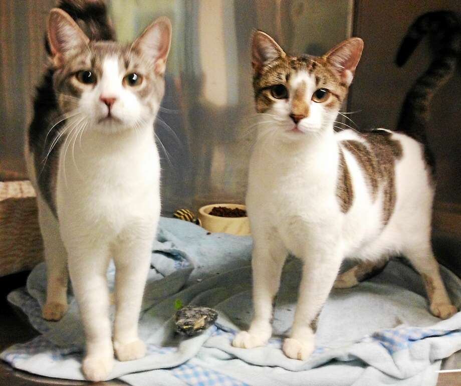 Two adorable male neutered siblings - kittens, tabby mixes, gorgeous eyes, adorable, playful,  so well behaved,  healthy, sweetest and loving. They are  approx. 4  months old.   Prefer to keep together. To meet them you will fall in love. They are in need of a reliable foster home until placed, everything provided.  PET PROTECTORS 203 330 0255 www.petprotectorsrescue.org email - contactus@petprotectorsrescue.org Photo: Journal Register Co.