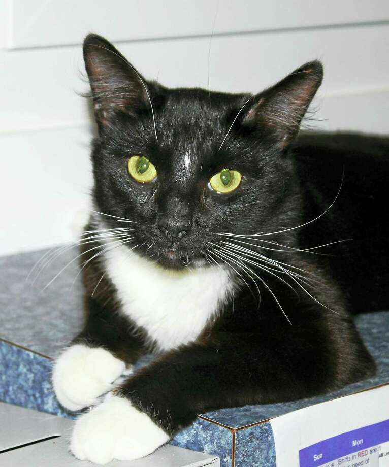 Bugsy, the Branford Compassion Club's Cat of the Month, is available for adoption. Photo: Contributed
