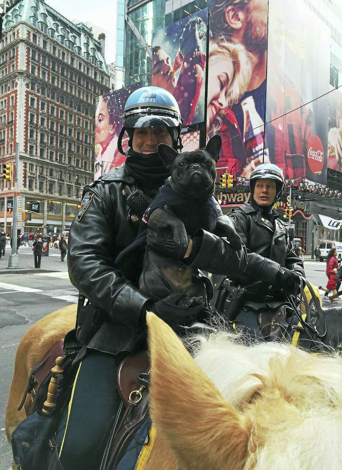 """Hazel was a favorite of the NYPD Mounted Patrol while she was in New York for Westminster week. Here she is """"riding"""" with Mounted Patrol Officer Jonathan Kupferschmidt in Times Square."""