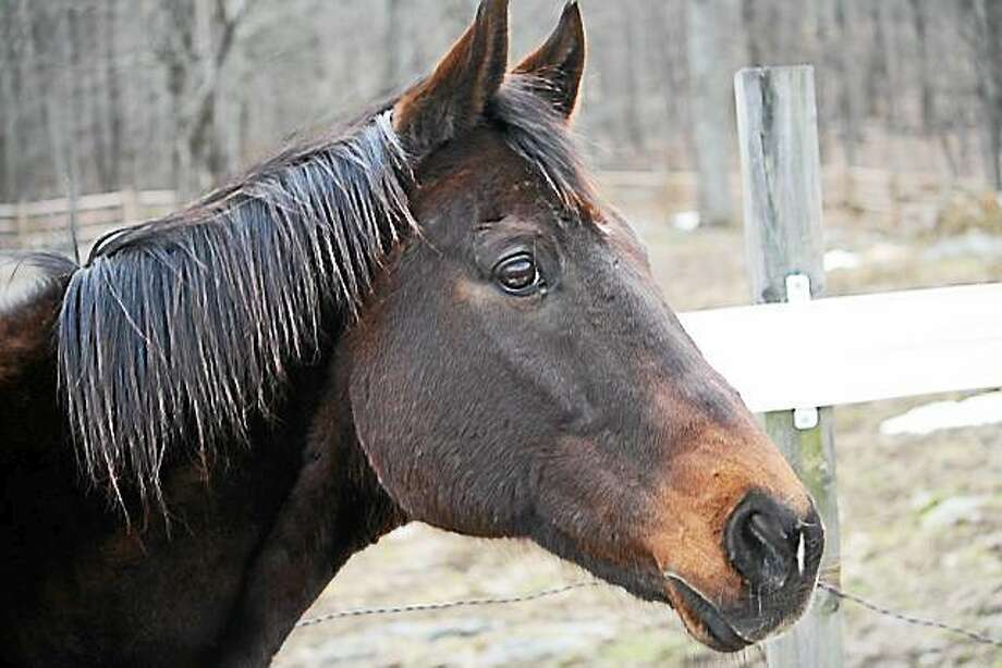 Romeo is looking for a loving partner.  He is tall, dark, and handsome.  He loves water, loads on the trailer easily, is safe in traffic, carries 125 lbs, and goes English or western.  He leads or follows and he goes solo.  At 22 years old, this 15.2H, off-the-track Thoroughbred is not only sweet but he's bombproof, too. Call H.O.R.S.E. of Connecticut at 860-868-1960, or email at horsectinfo@gmail.com, or visit the website (http://www.horseofct.org) for more information. Photo: Journal Register Co.