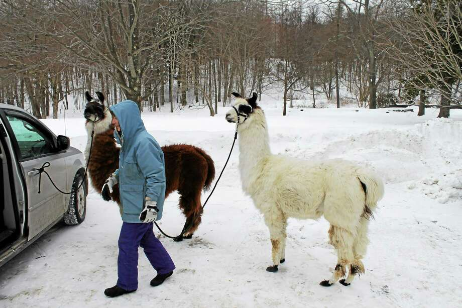 Debbie Elias, owner of Country Quilt Llama Farm in Cornwall, brought her friendly llamas Jack and Theo to White Memorial in Litchfield to educate people about llamas and get people to enjoy the outdoors. Photo: Journal Register Co.
