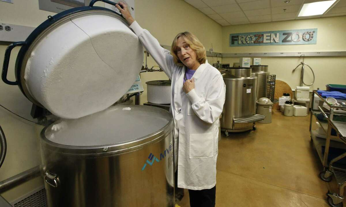 In this Friday, Jan. 2, 2015 photo, Barbara Durant, director of reproductive physiology at the San Diego Zoo Institute for Conservation Research, a.k.a. the Frozen Zoo, stands on the rail of a nitrogen-cooled stainless steel vat holding hundreds of vials of animal cells at the Beckman Center at the San Diego Zoo's Safari Park in Escondido, Calif. (AP Photo/Lenny Ignelzi)