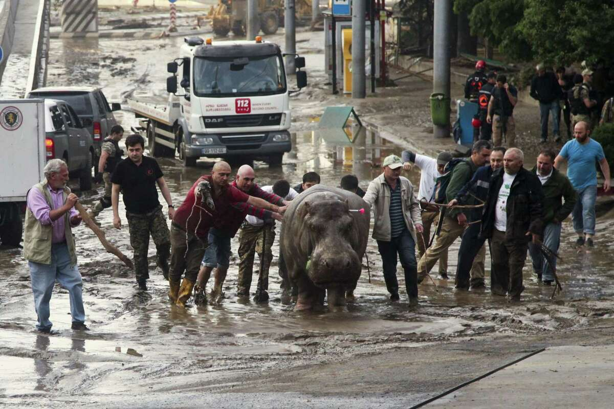 People help a hippopotamus escape from a flooded zoo in Tbilisi, Georgia on June 14, 2015. Tigers, lions, a hippopotamus and other animals have escaped from the zoo in Georgiaís capital after heavy flooding destroyed their enclosures, prompting authorities to warn residents in Tbilisi to say inside Sunday.