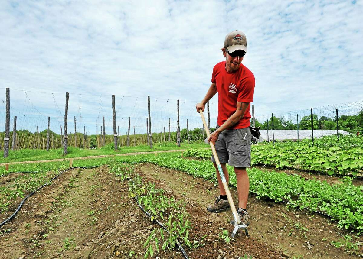 JOHN FITTS — REGISTER CITIZEN Camps Road Farm manager John Suscovich uses a scuffle, or stirrup, hoe to weed around tomato plants.
