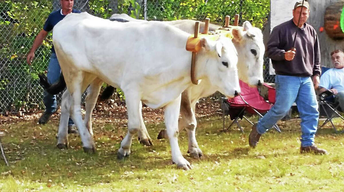 A couple of Chianina cows were entered in the Oxen & Steers Pulling competition during high-50s-degree sunny weather at the 106th annual Riverton Fair in Riverton Saturday, Oct. 10, 2015.