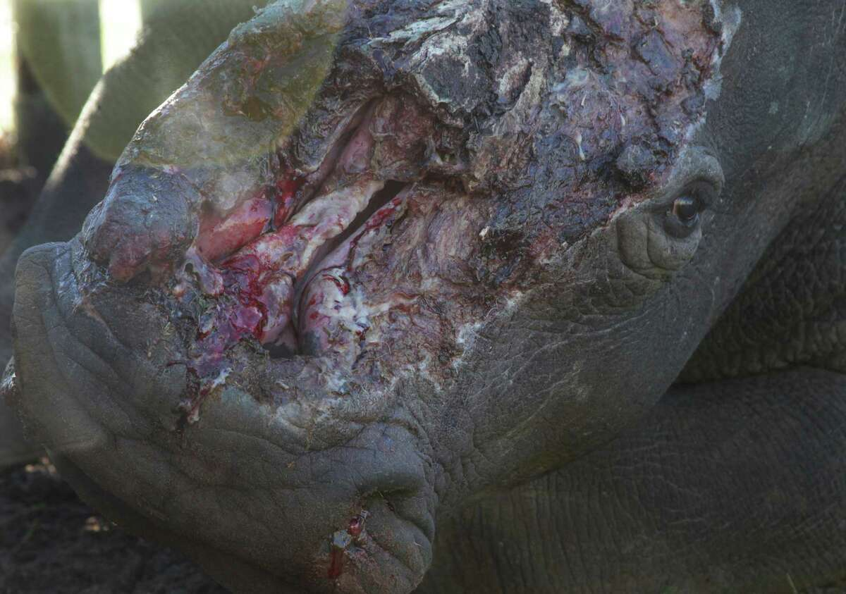 EDS NOTE GRAPHIC CONTENT - Hope, a rhino survivor, is prepared for surgery Monday, June 8, 2015 at Shamwari Game Reserve near Port Elizabeth, South Africa. Hope was darted by poachers recently at a nearby reserve and had her horns hacked off while she was sedated, fracturing her nasal bone and exposing the sinus cavities and nasal passages. (AP Photo/Courtney Quirin)