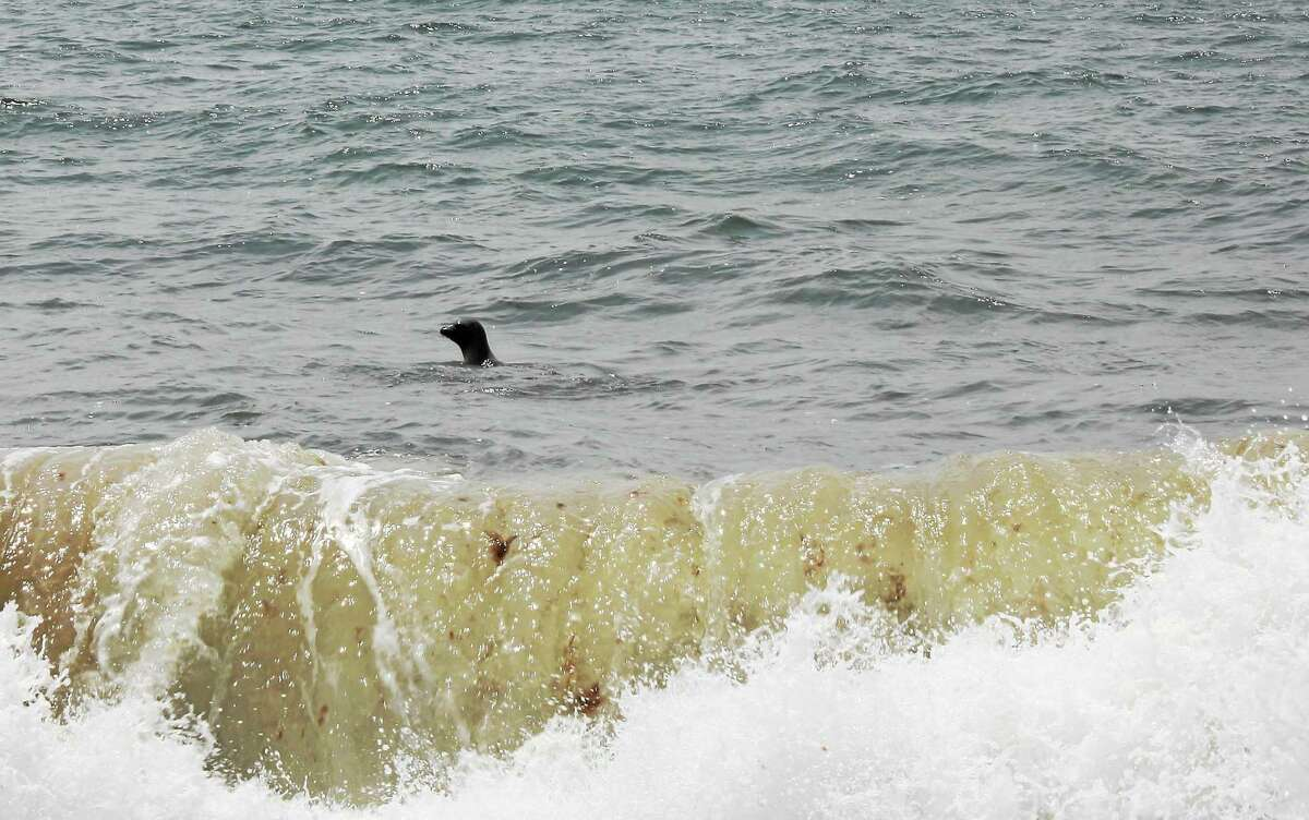 Mystic Aquarium's Animal Rescue Team Thursday released Poppy, a young harbor seal, at Blue Shutter Beach in Charlestown, R.I.