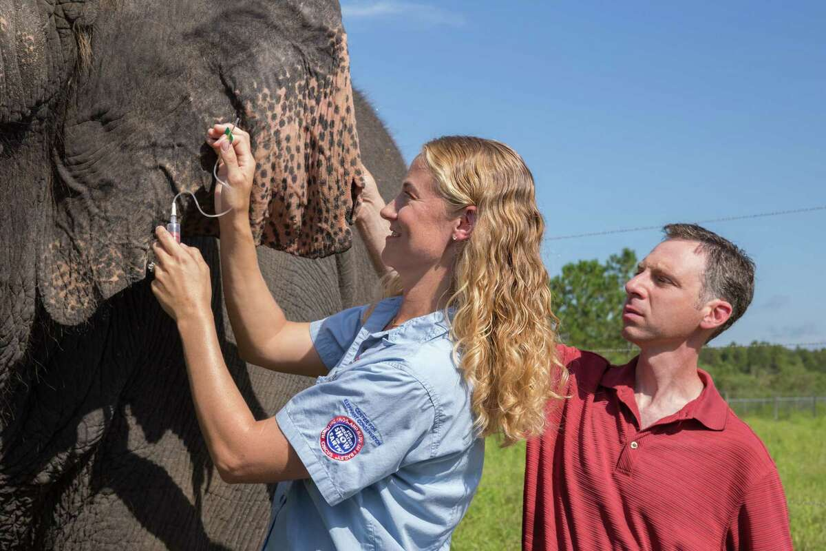 This Aug. 26, 2014 photo provided by Feld Entertainment, Ringling Bros. and Barnum & Bailey Center for Elephant Conservation Director of Veterinary Care Dr. Ashley Settles and Dr. Joshua Schiffman, a pediatric cancer specialist at the University of Utah, take a blood sample from one of the elephants at the center in central Florida. Cancer is much less common in elephants than in humans, and researchers are looking at ways to apply that benefit to humans.
