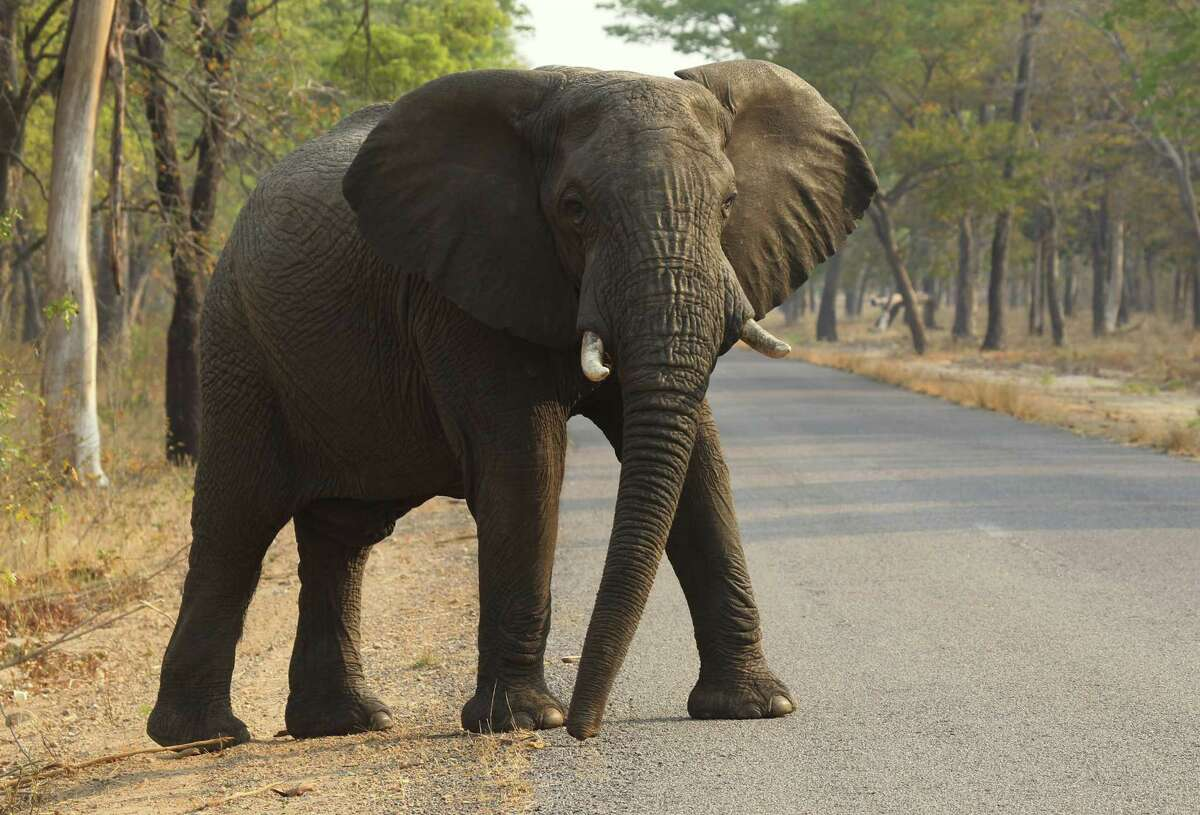 In this Thursday, Oct. 1, 2015, photo, an elephant crosses a road in Hwange National Park, Zimbabwe, about 700 kilometres south west of Harare. Cancer is much less common in elephants than in humans, even though the big beasts' bodies have many more cells.