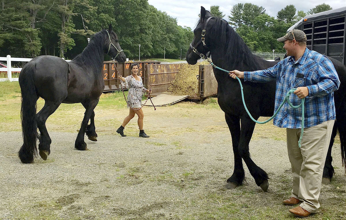 In this June 13, 2016 photo, Dan and Amy Thomas try to calm the two Friesian horses they were picking up at the Connecticut Department of Agriculture's large animal rehabilitation center at the York Correctional Center in Niantic, Conn. The horses were among others seized in February as part of an animal cruelty probe, that were later auctioned off.