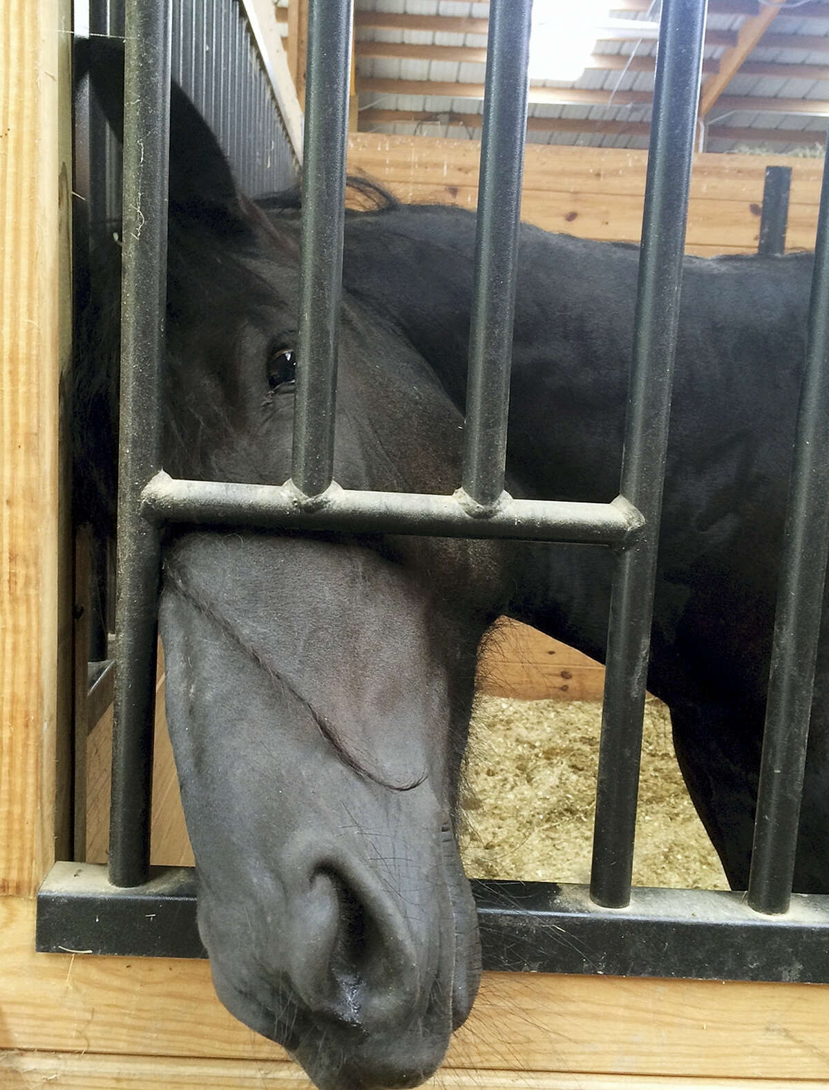 In this June 13, 2016 photo, a Friesian horse known as Francisca peeks her nose out of her stall at the Connecticut Department of Agriculture's large animal rehabilitation center at York Correctional Center in Niantic, Conn.
