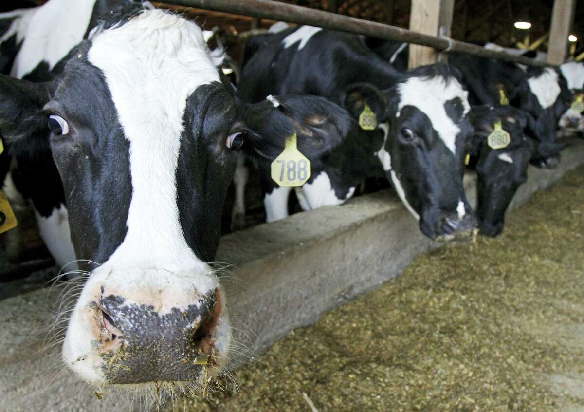 In this April 20, 2011 photo, cows stand in Harold Howrigan's barn in Fairfield, Vt. An oversupply of milk in the U.S. and around the world has caused milk prices paid to farmers to fall below production costs for months.