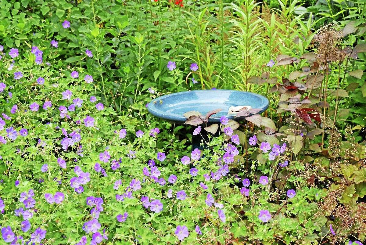 The birdbath wades in a sea of Geranium 'Rozanne.'