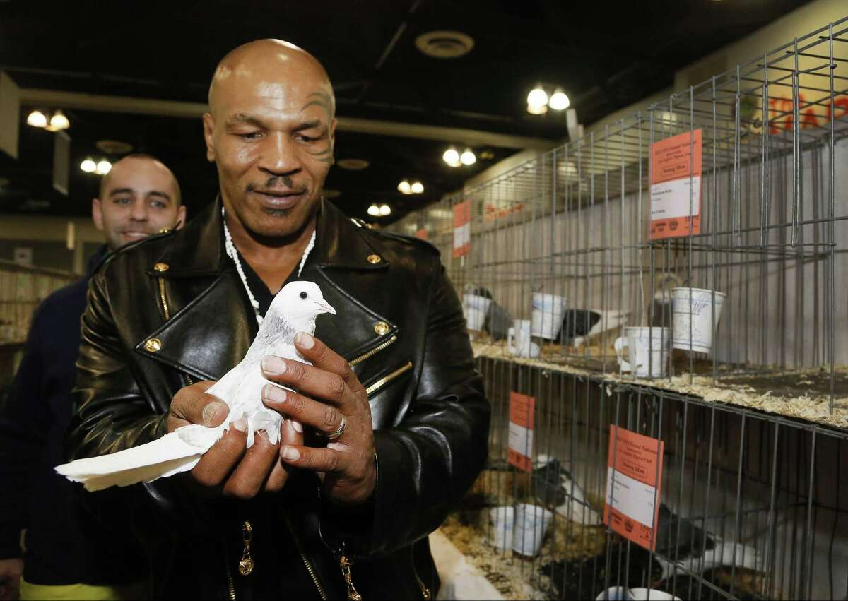 In this Thursday, Jan. 29, 2015 photo former boxing champion Mike Tyson holds a white homing pigeon at the National Pigeon Associationís 93rd annual Grand National Pigeon Show in Ontario, Calif. Tyson, who had pigeons as a youngster, has 1,800 now in Nevada, New Jersey and New York. He said he was 10 when he won his first fight because a neighborhood bully took one of his birds and broke its neck in front of him. (AP Photo/Nick Ut)
