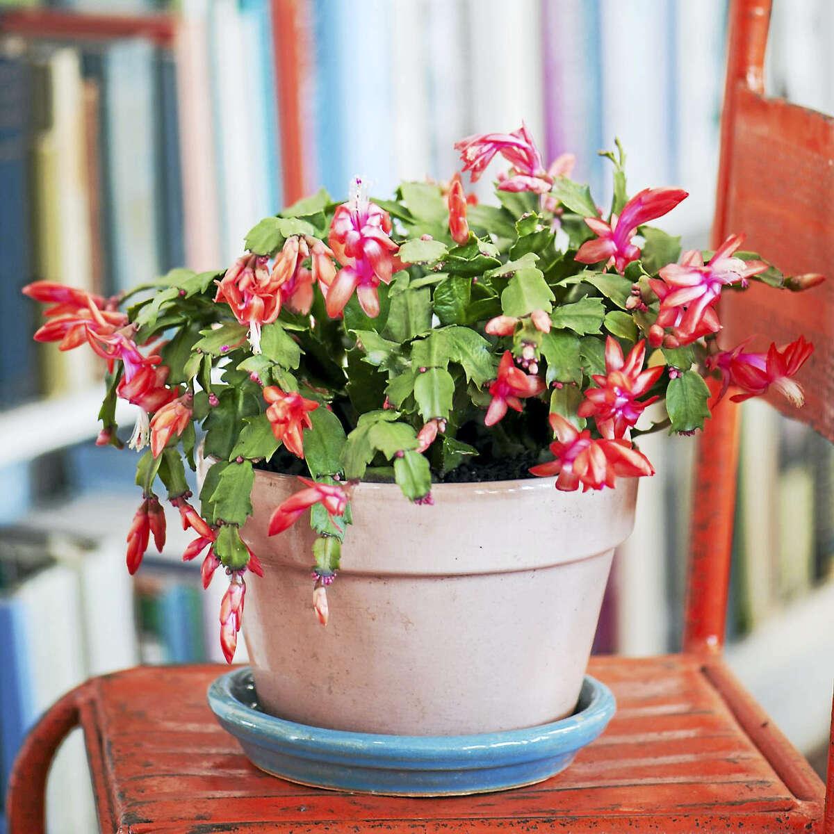 Schlumbergera 'Orange Flame,' a Christmas cactus.