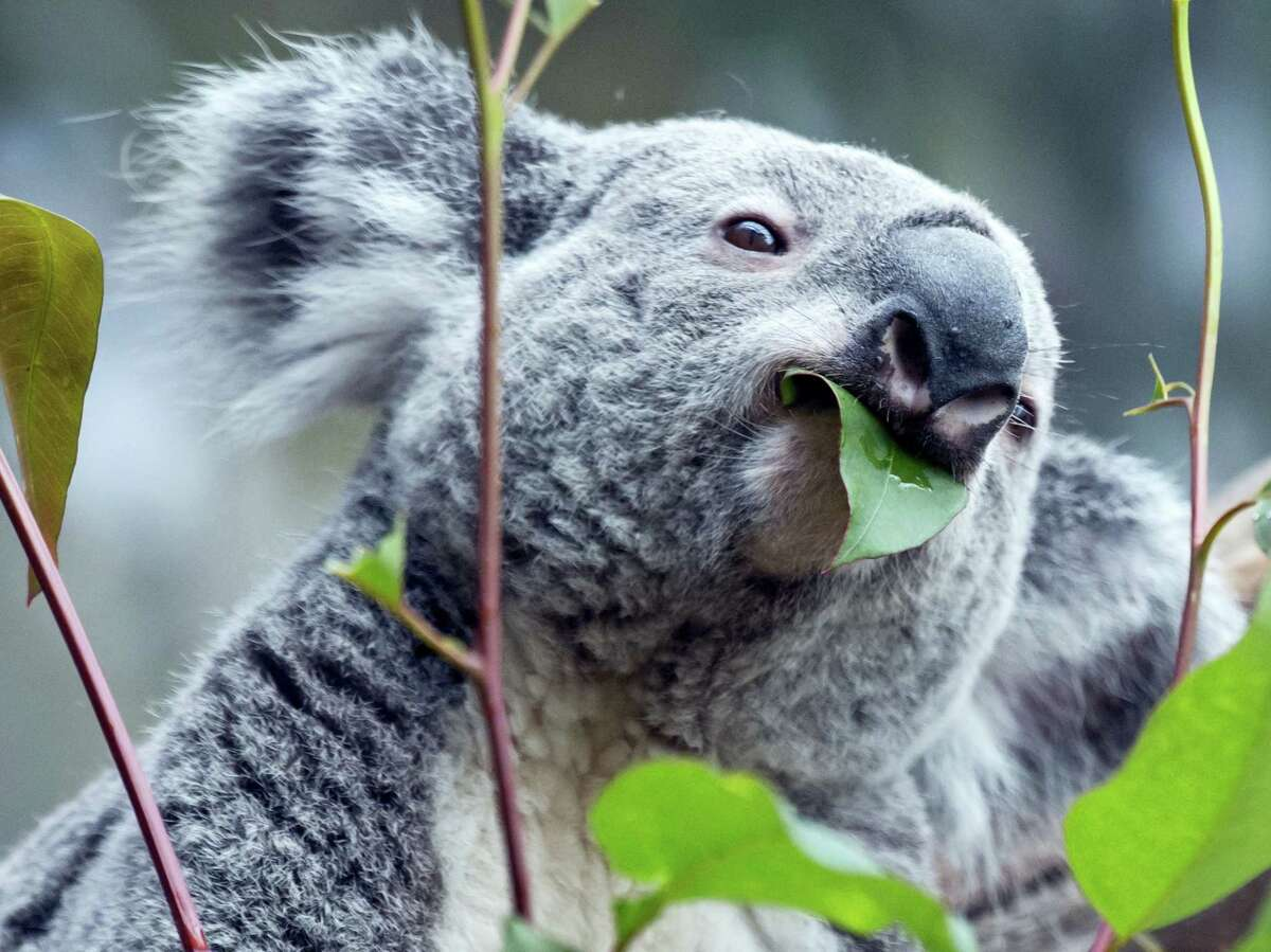 The male Koala Oobi-Ooobi predicts Germany to be the winner of the Euro 2016 match between Germany and Poland to be held tomorrow in France, at the Leipzig Zoo in Leipzig, central Germany, Wednesday, June 15, 2016. He took out the eucalyptus branch from the glass with the German flag.