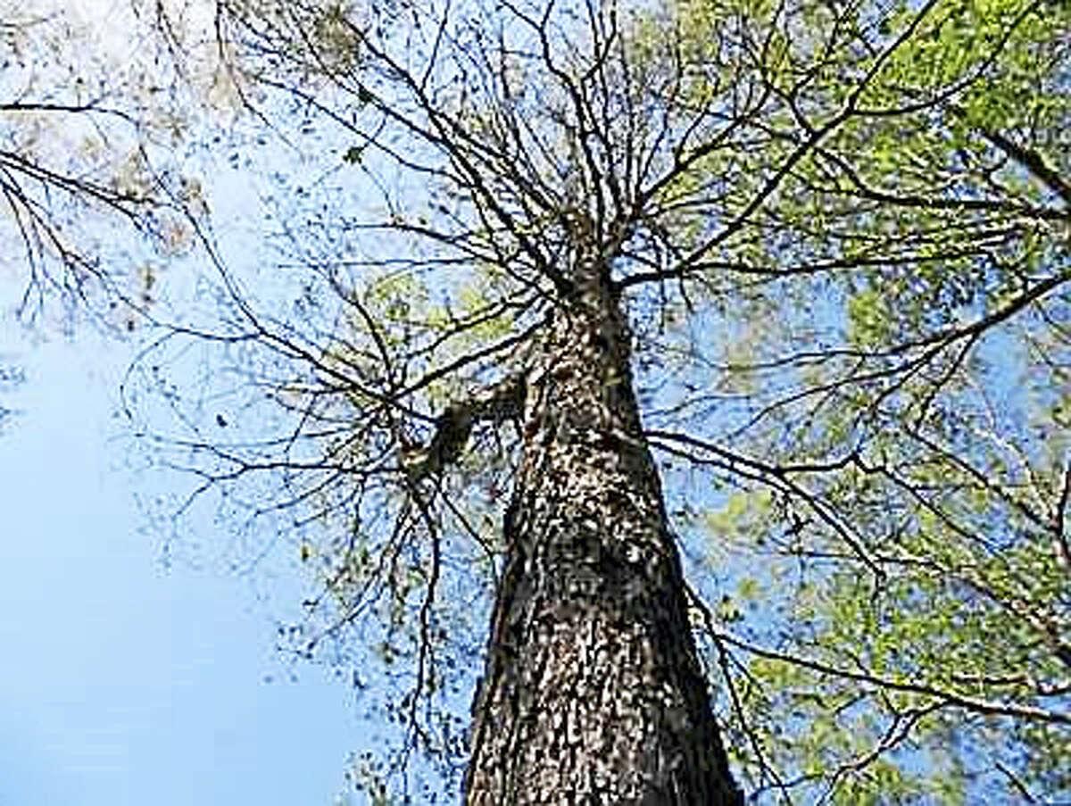 White oak defoliated by gypsy moths.