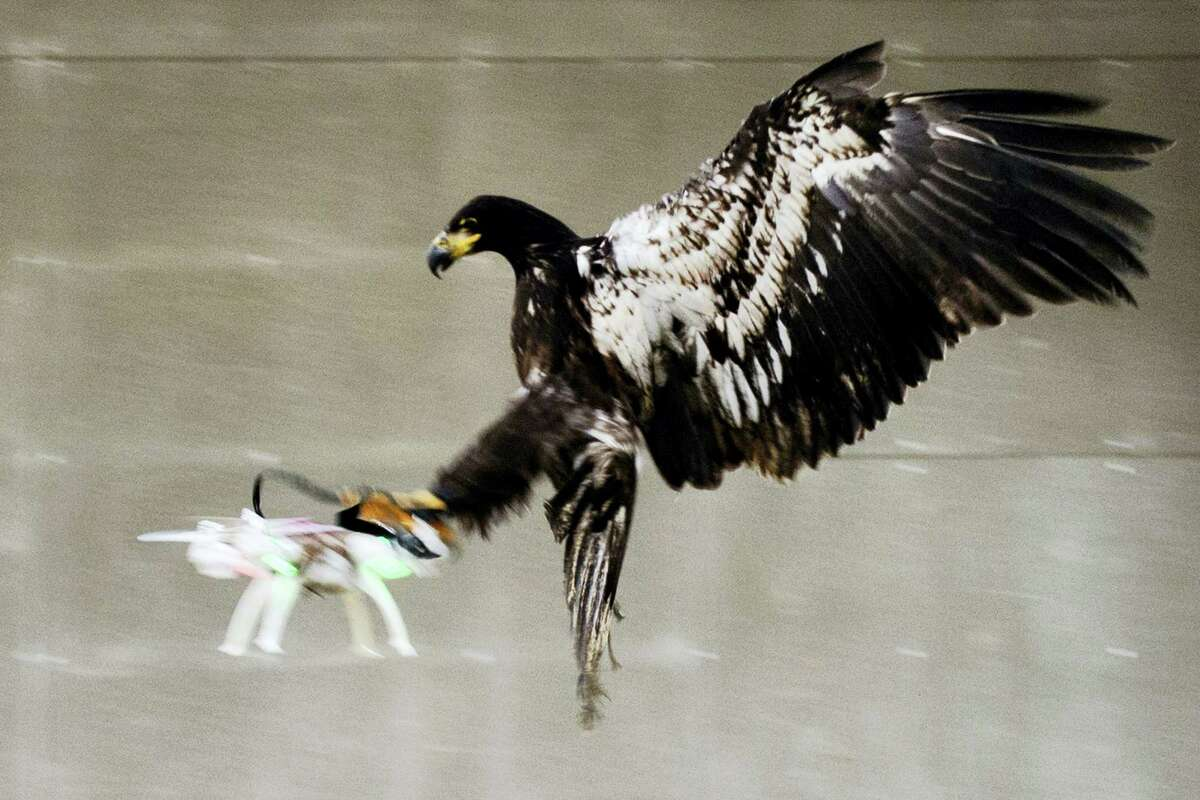 In this image released by the Dutch Police Tuesday Feb. 2, 2016, a trained eagle puts its claws into a flying drone. Police are working with a The Hague-based company that trains eagles and other birds to swoop down on small drones and grasp them in their talons in restricted areas or where they are banned, such as at large outdoor events.