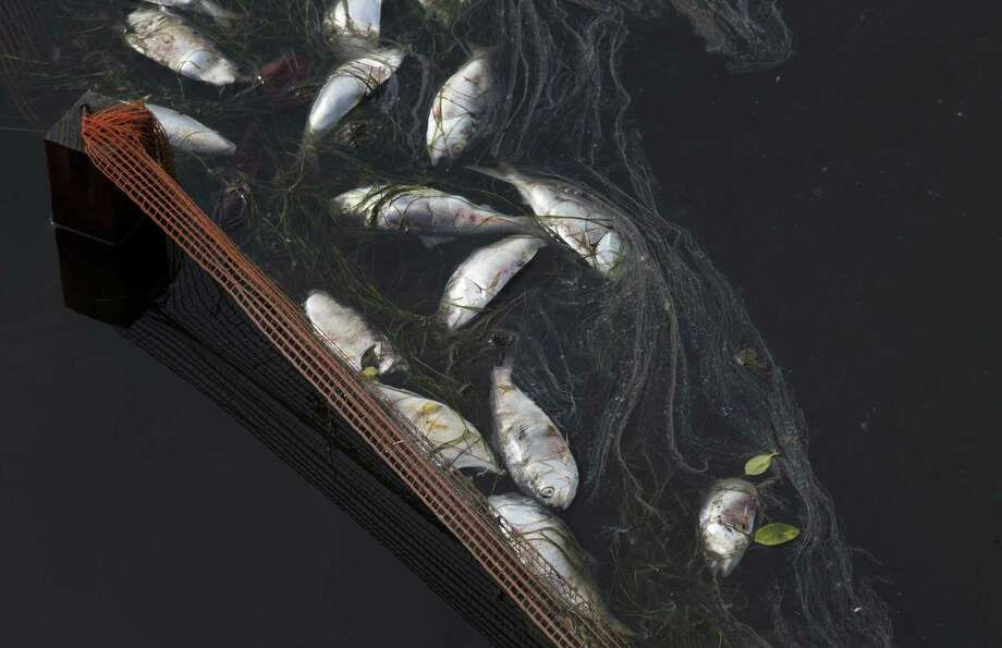 In this April 13 file photo, dead fish float at the Rodrigo de Freitas lagoon in Rio de Janeiro, Brazil. The rowing and canoeing venue for the 2016 Rio Olympics will be held at the lagoon, which is a beautiful locale spoiled by sewage-filled water and floating debris. Photo: AP Photo/Silvia Izquierdo / AP