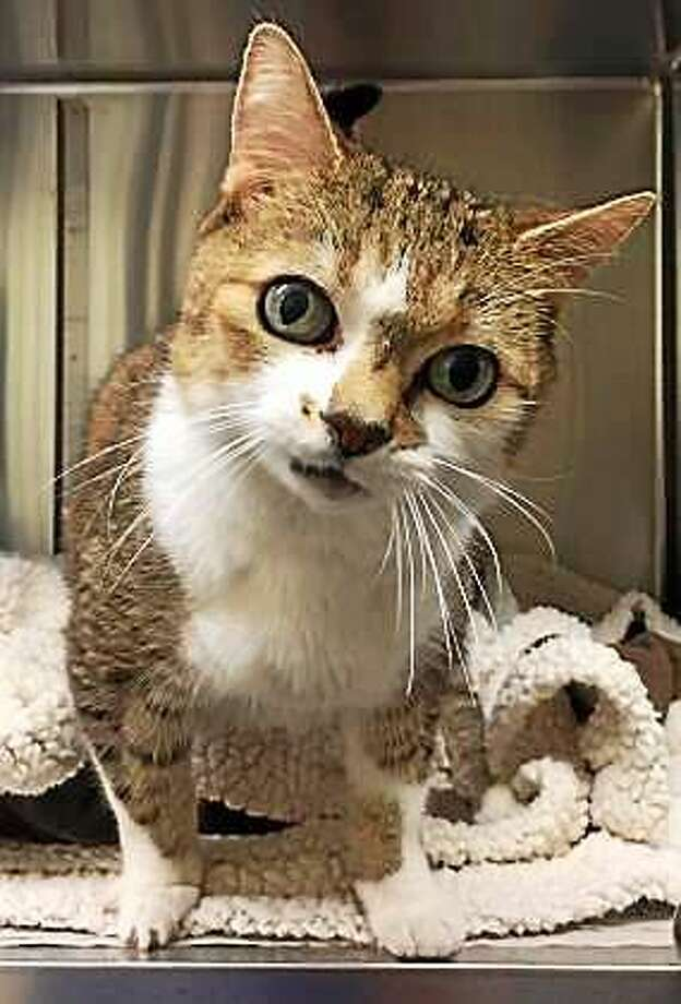 Swedish Meatball is the silly name for this guy!  He is grey and tan and white, with a wonderfully round face and wide eyes that invite attention.  Swedish Meatball is 12-years-young and he can live in any size home.  If you are looking for a great companion cat that will check-in with you frequently, but not be a bother, come to Newington to visit with Swedish Meatball today!     Remember, the Connecticut Humane Society has no time limits for adoption.  Inquiries for adoption should be made at the Connecticut Humane Society located at 701 Russell Road in Newington or by calling (860) 594-4500 or toll free at 1-800-452-0114.  The Connecticut Humane Society is a private organization with branch shelters in Waterford and Westport.  The Connecticut Humane Society is not affiliated with any other animal welfare organizations on the national, regional or local level. Photo: Journal Register Co.