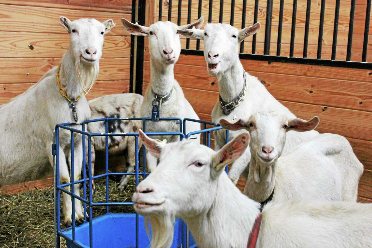 Some of the goats seized from a farm in Cornwall.