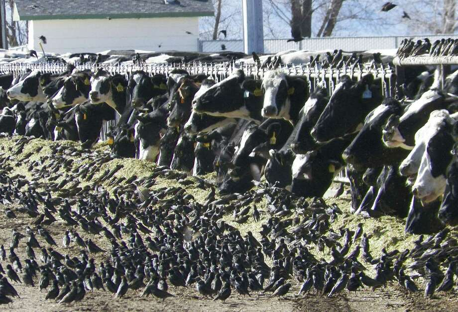 In this undated photo provided by the USDA Animal and Plant Health Inspection Service, a flock of European starlings litter a feedlot in Fallon, Nev. Land owners surprised to discover tens of thousands of dead birds across the high desert are criticizing the federal government over a mass killing of starlings in northern Nevada. An Agriculture Department spokesman said a pesticide was used to destroy the birds to prevent the spread of disease to dairy cows. Some area residents, however, say the government should have done more to alert the public and to dispose of the dead birds. (AP Photo/USDA APHIS, Jack Spencer) Photo: AP / USDA Animal and Plant Health Inspection Service