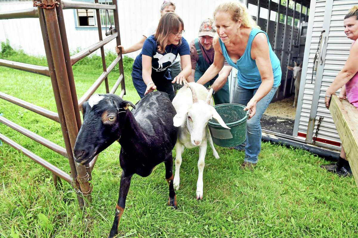 From left, Annie Hornish, Connectictut state director of the Humane Society of the United States; Mark Zotti, inspector for the state Department of Agriculture; and Kathleen Schurman, owner of Locket's Meadow Farm, steer the first of 13 goats into a pen at Locket's Meadow Farm in Bethany on Aug. 25, 2015.