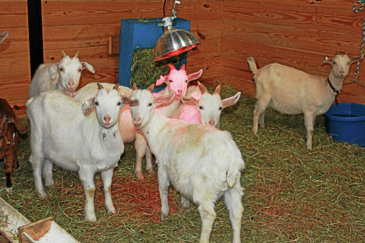 Some of the goats seized from Butterfield Farm Co. in Cornwall.