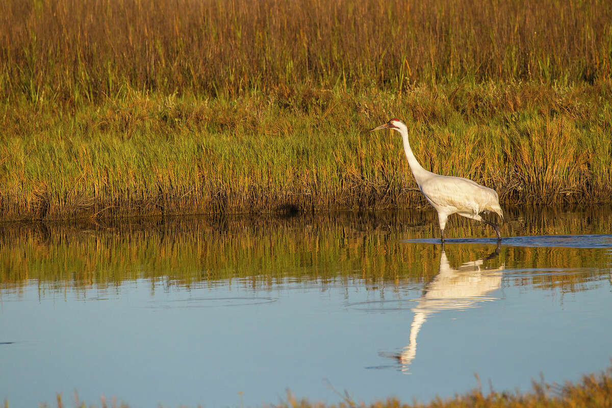 The Port Aransas Whooping Crane Festival is a place to see whooping cranes and other birds that winter on the central Texas coast.