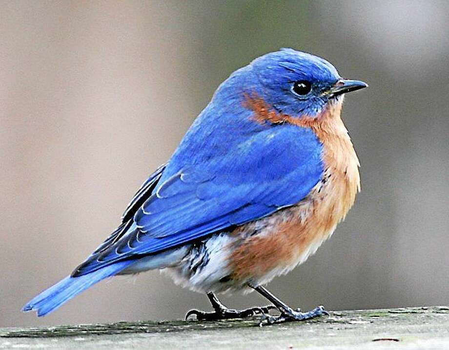 Contributed photo On Sunday, March 15th at 2PM, Flandersí naturalist Edward Boisits will be giving a lively presentation about the Eastern Bluebird nesting box trail which is located at the Flandersí Van Vleck Sanctuary in Woodbury.   The program will be held at the Flanders Studio at 5 Church Hill Road in Woodbury which is located on the corner of Flanders and Church Hill Roads.   Cost is $10/members, $15 non-members. All ages are welcome and pre-registration is requested. Those interested in the program can register online at www.flandersnaturecenter.org.or call (203) 263-3711 Ext. 10 for more information. Photo: Journal Register Co.
