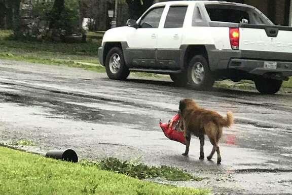 Hurricane Harvey couldn't keep Otis the dog down.