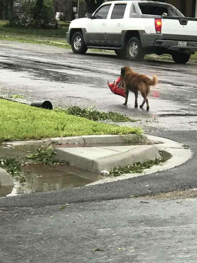 """Dog carrying bag of food after Hurricane Harvey becomes viral hero""Aug. 26, 2017 Photo: Tiele Dockens"