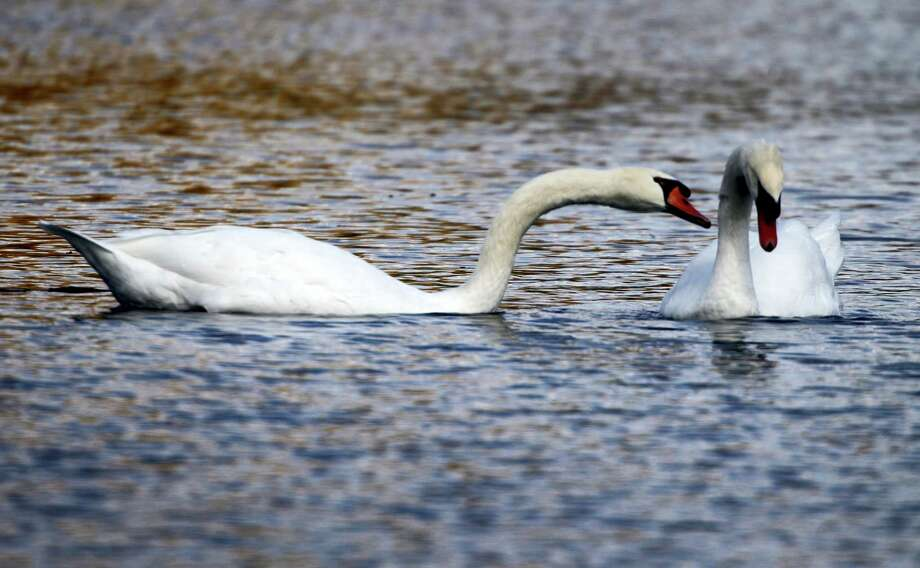 In a Oct. 6, 2012 photo, two mute swans swim along a pond in Zelienople, Pa. Months after Connecticut environmental officials killed a swan they determined to be aggressive, Connecticut is taking steps to better inform the public about nesting sites so people can avoid coming in contact with the birds. Photo: AP Photo/Keith Srakocic, File  / Copyright 2016 The Associated Press. All rights reserved. This material may not be published, broadcast, rewritten or redistribu