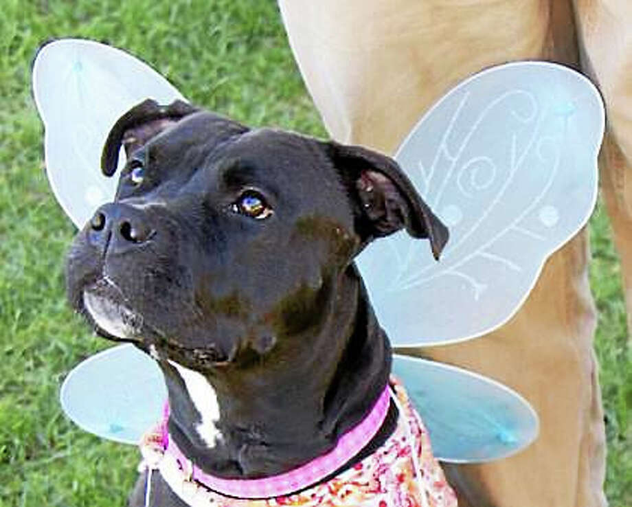 Hope, a 3 year old American Staffordshire terrier mix, would be overjoyed to have her forever home in time to celebrate the holiday festivities. She likes kids over 10 years old and would really enjoy a home where she can get plenty of exercise every day. Visit her in Newington to make her dreams come true. Remember, the Connecticut Humane Society has no time limits for adoption. Inquiries for adoption should be made at the Connecticut Humane Society located at 701 Russell Road in Newington or by calling (860) 594-4500 or toll free at 1-800-452-0114.The Connecticut Humane Society is a private organization with branch shelters in Waterford and Westport. The Connecticut Humane Society is not affiliated with any other animal welfare organizations on the national, regional or local level. Photo: Journal Register Co.