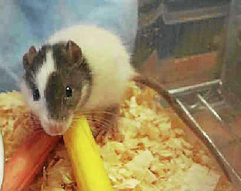 """Stewart"" the rat. Photo: DFM File Photo"