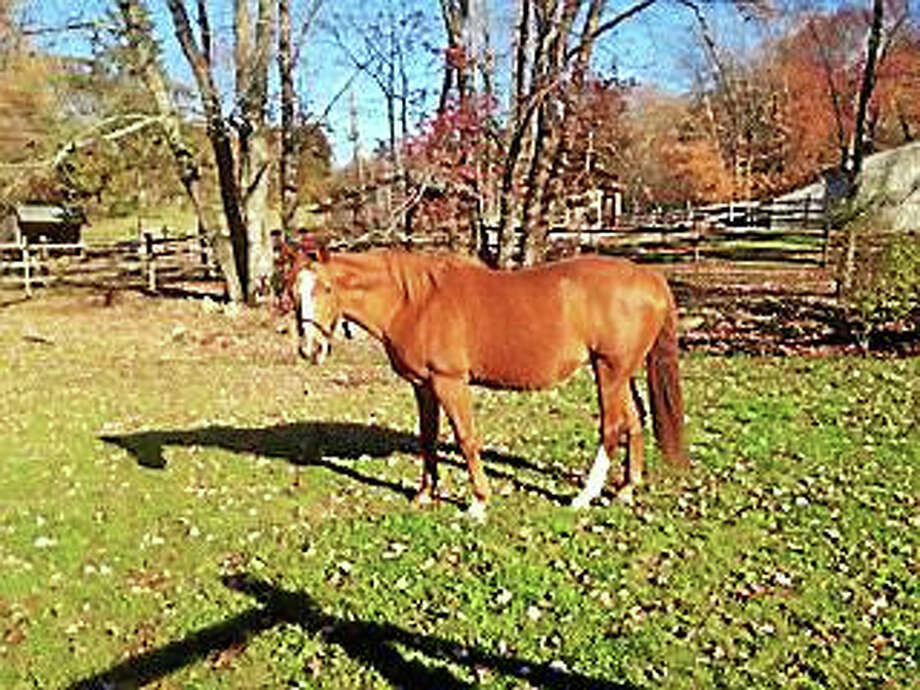 On Saturday, November 7 from 9:00 a.m. to 3:00 p.m. the Humane Organization Representing Suffering Equines (H.O.R.S.E.) of Connecticut will hold a Volunteer Day to help clean up the farm, fix fencing, and groom and walk horses. Among those whose paddocks will be cleaned is Summer, a sweet, well trained, 16'1hd Westphalian mare, who loves to be groomed, rides English in the ring, does small trail rides, and is great for teenagers. Anyone interested in helping should wear old clothes, plan to arrive at the farm in the morning and bring tools if they have them.  Lunch will be provided. H.O.R.S.E. of Connecticut is located at 43 Wilbur Road, Washington, CT.  If you can't attend Volunteer Day but would like to make a donation go online to the organization's site – Photo: Journal Register Co.