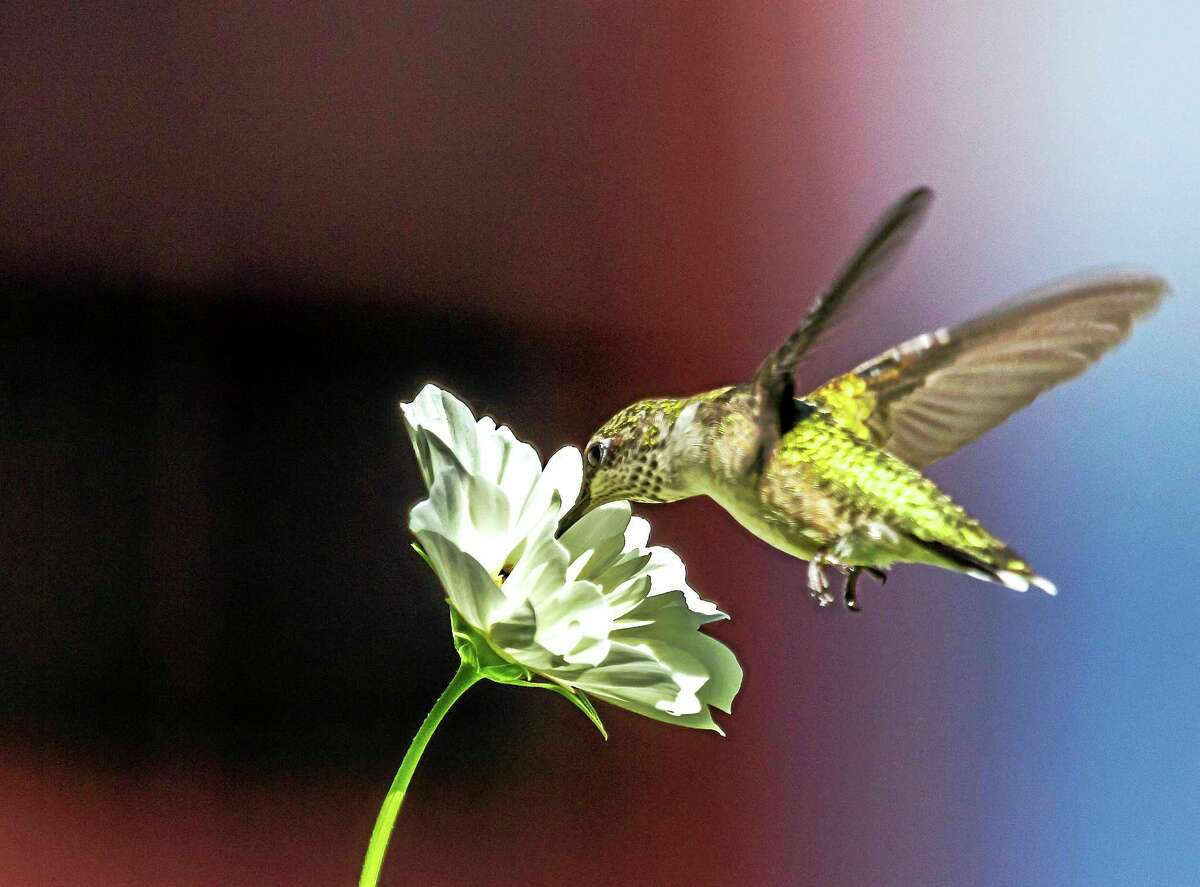 Contributed photoA hummingbird feeds from a flower blossom, in a photo by Karen Chase of Kent.