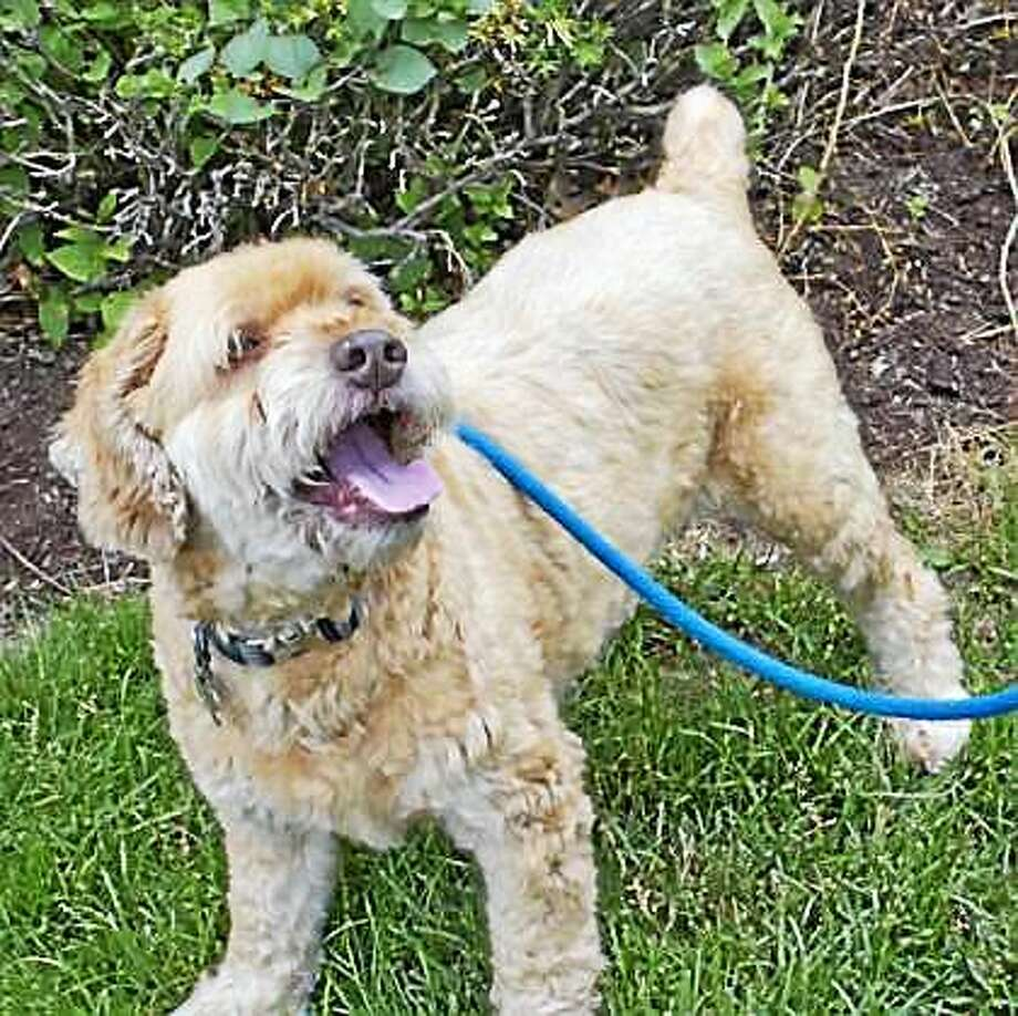 Benji Benji loves kids and he would enjoy living with children of all ages, pending interaction.  This cute little spaniel mix is housebroken and can live in any size home, including apartments and condos.  Benji would be most comfortable in a home where he can be the center of attention, without other dogs.  He has not had much experience with cats, but he would be willing to consider sharing his home with a feline.  Would you love a spaniel mix?  See this dog romp around with Mocha! COPY AND PASTE: https://www.youtube.com/watch?v=fc768j083bo.  Benji is in Newington. Inquiries for adoption should be made at the Connecticut Humane Society located at 701 Russell Road in Newington or by calling (860) 594-4500 or toll free at 1-800-452-0114. The Connecticut Humane Society is a private organization with branch shelters in Waterford and Westport.  The Connecticut Humane Society is not affiliated with any other animal welfare organizations on the national, regional or local level. Photo: Journal Register Co.