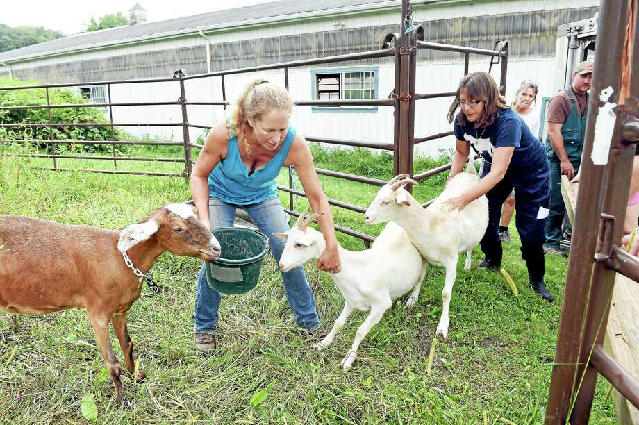 Kathleen Schurman, center, owner of Locket's Meadow Farm in Bethany, and Annie Hornish, Connectictut state director of the Humane Society of the United States, attempt to corral 13 goats into a pen at the farm on Tuesday. Photo: Arnold Gold — New Haven Register