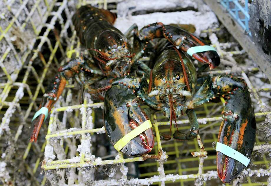 In this Oct. 28, 2011 file photo, lobsters sit on a trap in New London. A study released in April 2016 says no traces of pesticides were found in lobsters collected in Long Island Sound in late 2014, boosting the theory that elevated water temperatures are the main culprit in a big lobster population decline. Photo: AP Photo — Jessica Hill, File / AP2011