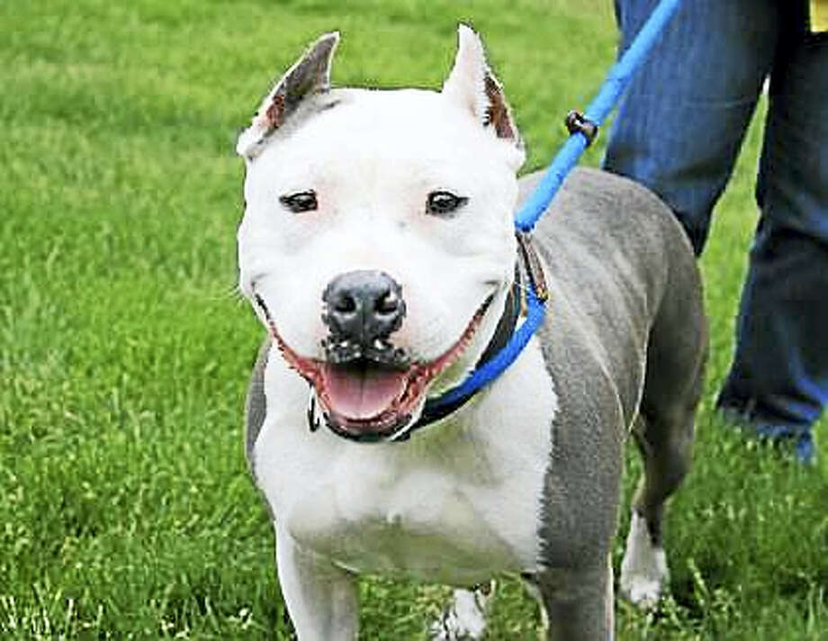 Luna is 6-years-old and has a wonderful smile!  She is an American Pit Bull Terrier mix and is a great dog with a lot of potential for the family with general dog experience.  Luna can live in a single family home, with condos and apartments considered.  Luna's new family may include kids over age 12, and possibly a furry friend. Luna is calm but she does have her moments of energy and needs to get some exercise every day.  Luna is ready and waiting in Newington.  Remember, the Connecticut Humane Society has no time limits for adoption.  Inquiries for adoption should be made at the Connecticut Humane Society located at 701 Russell Road in Newington or by calling (860) 594-4500 or toll free at 1-800-452-0114.  The Connecticut Humane Society is a private organization with branch shelters in Waterford and Westport. The Connecticut Humane Society is not affiliated with any other animal welfare organizations on the national, regional or local level. Photo: Journal Register Co.