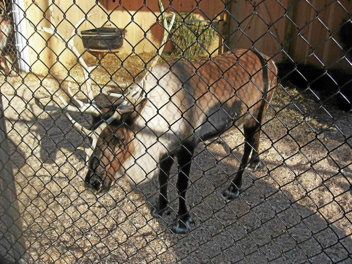 DFM file photo A resident healthy reindeer awaits visitors at Christmas Village in Torrington.