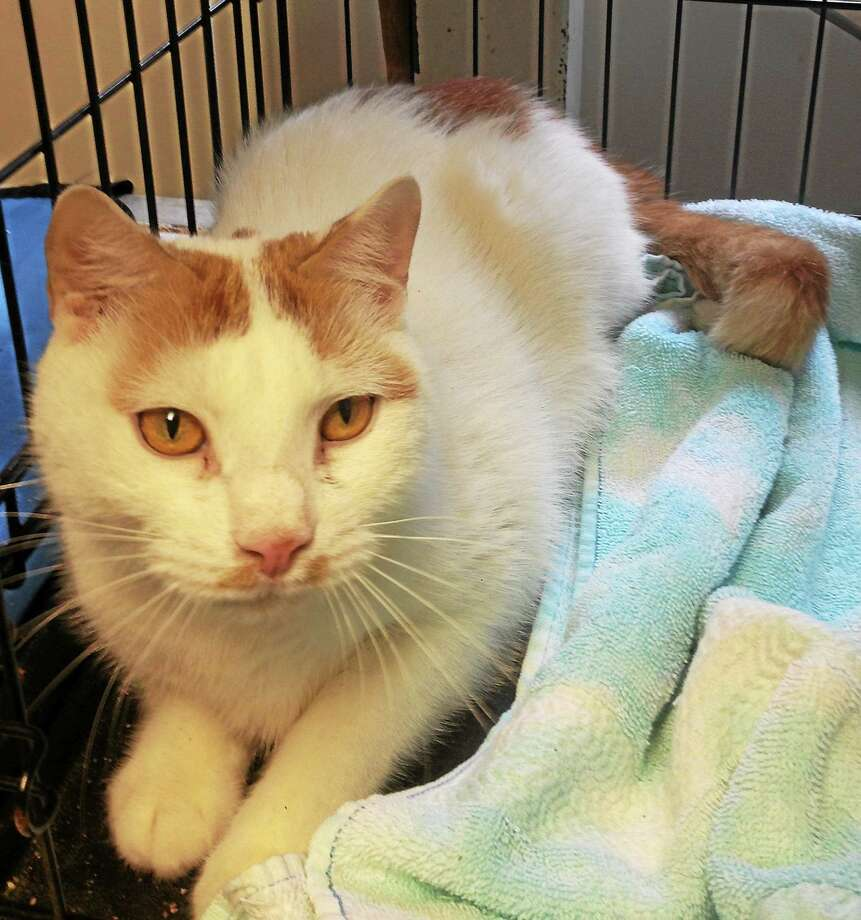 Samson Samson is a sweet male neutered orange / white short haired cat with golden  eyes, approx. 3-4 yrs old. He is mellow, affectionate, healthy, calm, and a sweetheart. He may be slightly shy at first and then soon comes around. Samson is in need of a reliable  patient foster home until placed, with everything provided. To foster or adopt Samson, To adopt Maddie, contact Pet Protectors by calling 203-330-0255, visit www.petprotectorsrescue.org or email contactus@petprotectorsrescue.org. Photo: Journal Register Co.