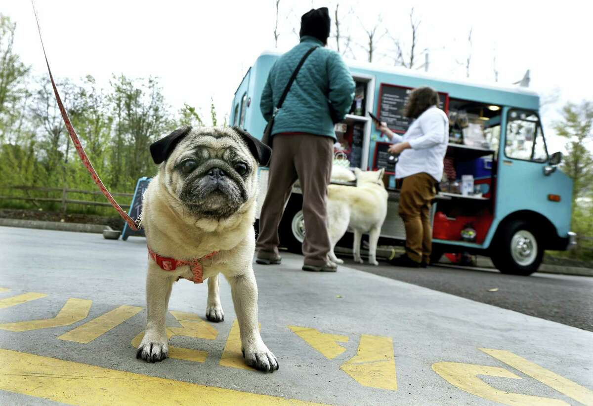 Stella, a pug owned by Jannelle Harding of Seattle, waits in line at a food truck specializing in treats for dogs during the lunch hour at the headquarters for the clothing and skateboard retailer Zumiez, in Lynnwood, Wash.