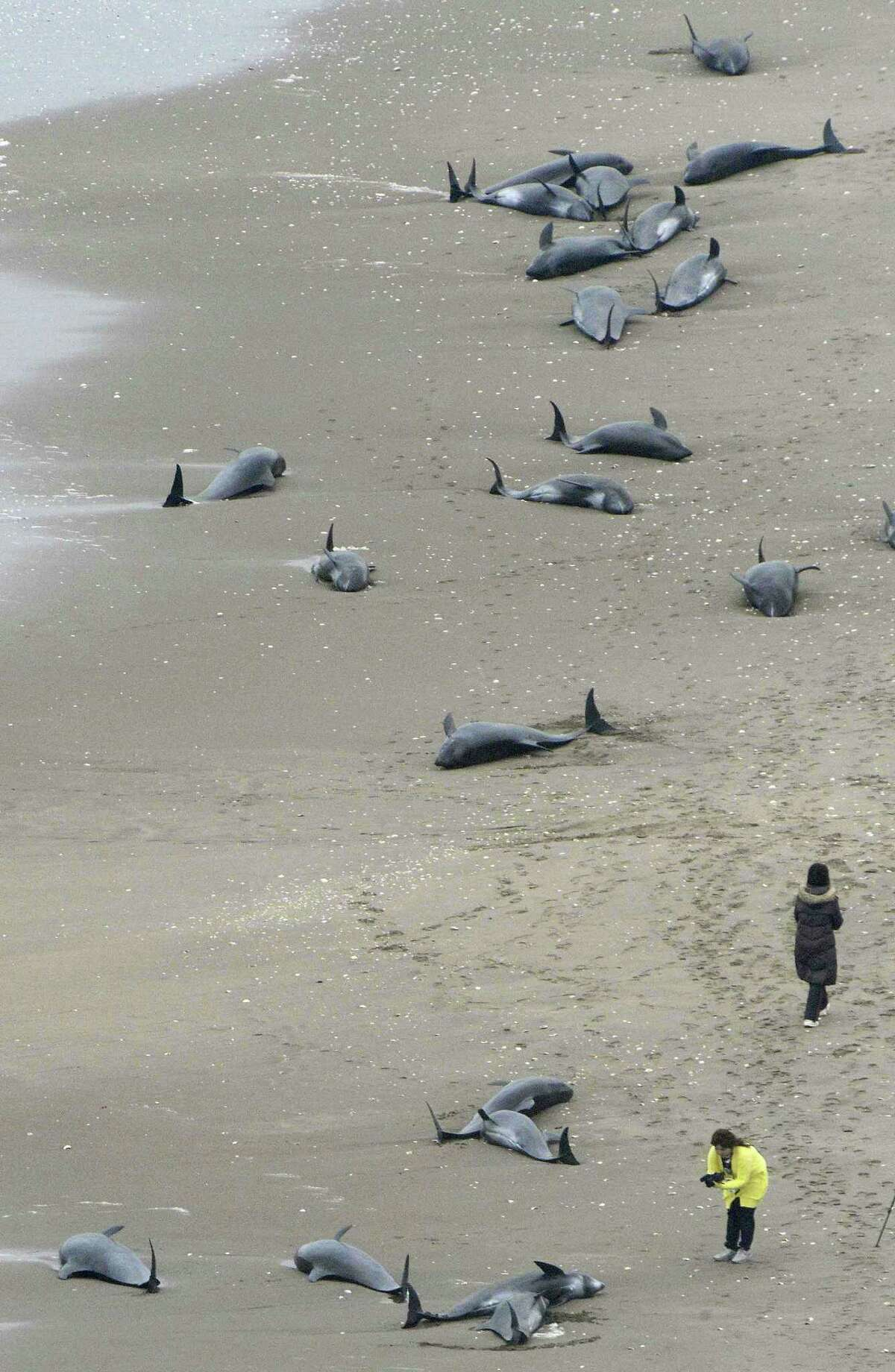 Dolphins lie on the beach in Hokota, north of Tokyo, Friday, April 10, 2015. Nearly 150 dolphins were found washed ashore the coast in central Japan on Friday morning. A Hokota city official said a total of 149 dolphins were found stranded on the beach by noon local time.